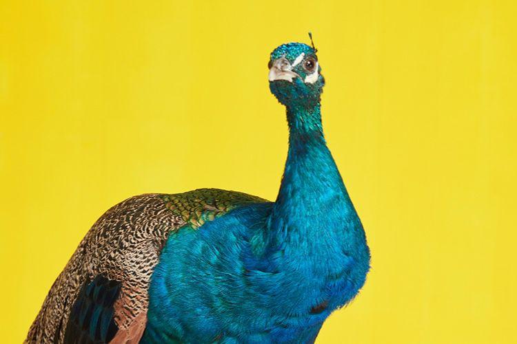 Trois formules et deux dates de lancement pour Peacock, le service de streaming de NBCUniversal